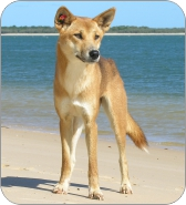 dingo1